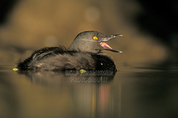 Least Grebe, Tachybaptus dominicus, adult, Starr County, Rio Grande Valley, Texas, USA, May 2002