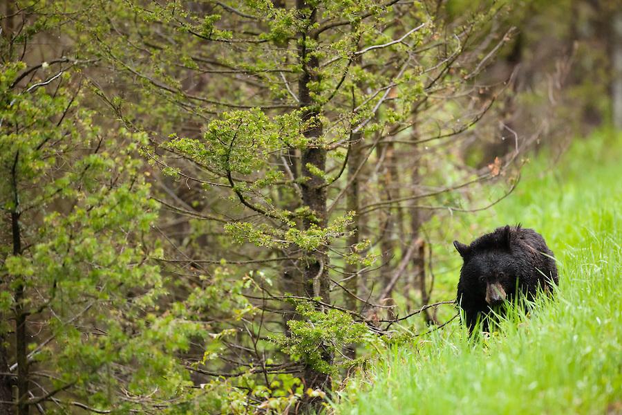 A single black bear feeds on grass along a hillside.