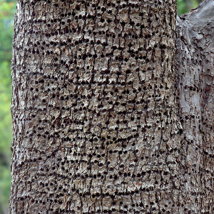 Woodpecker Tree Damage - Small Holes drilled in Pear Tree Bark by Yellow-Bellied Sapsucker (Sphyrapicus varius), Saltspring (Salt Spring) Island, BC, British Columbia, Canada, Summer