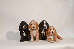 Cocker Spaniel puppies on white seamless<br />