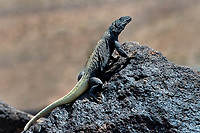 414050008 a wild adult male chuckwalla sauromalus obesus perches on a lava rock near darwin canyon in inyo county california