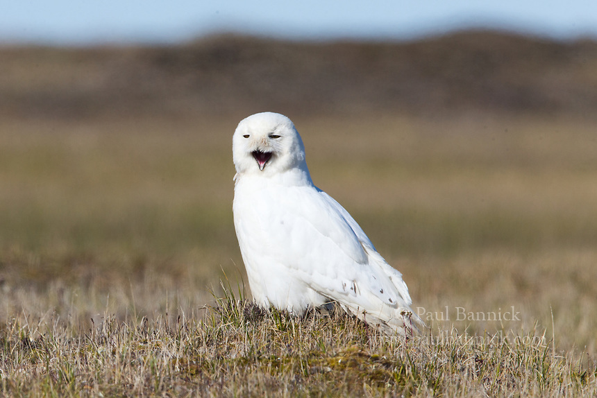 A male Snowy Owl barks to scare or distract predators from the fledglings.