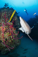 TH3806-D. Caribbean Reef Shark (Carcharhinus perezi) swimming overtop coral reef covered with sponges- purple Row Pore Rope Sponges (Aplysina cauliformis), red Erect Rope Sponges (Amphimedon compressa) and Yellow Tube Sponge (Aplysina fistularis).  Cuba, Caribbean Sea.<br /> Photo Copyright &copy; Brandon Cole. All rights reserved worldwide.  www.brandoncole.com