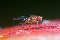 Schwarzbäuchige Fruchtfliege, Schwarzbäuchige Taufliege, Fruchtfliege, Taufliege, Kleine Essigfliege, Obstfliege, Gärfliege, Mostfliege, auf Obst in der Küche, Drosophila melanogaster - Gruppe, fruit fly, vinegar fly, Essigfliegen, Obstfliegen, Drosophilidae, Taufliegen, fruit flies, pomace flies, small fruit flies, ferment flies