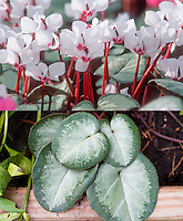 Cyclamen coum at two different times, in flower (Maurice Dryden) and just foliage leaves