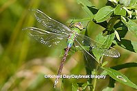 06361-005.12 Common Green Darner (Anax junius) female, Marion Co. IL