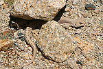 Lizard taking shade under some rocks in Joshua Tree National Park, California