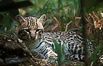 Oceleot (Leopardus pardalis) - captive, sitting in jungle undergrowth, camouflaged