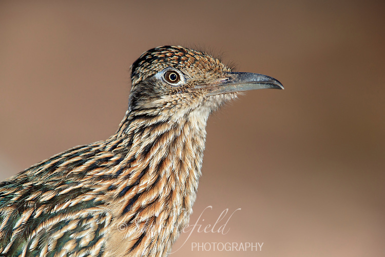 Greater Roadrunner (Geococcyx californianus) in Papago Park in Phoenix, Arizona.