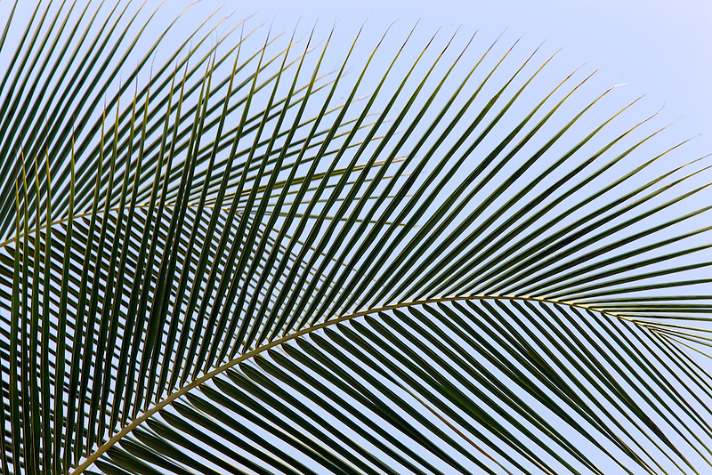 Close up of palm tree leaves. Kaiai, Hawaii