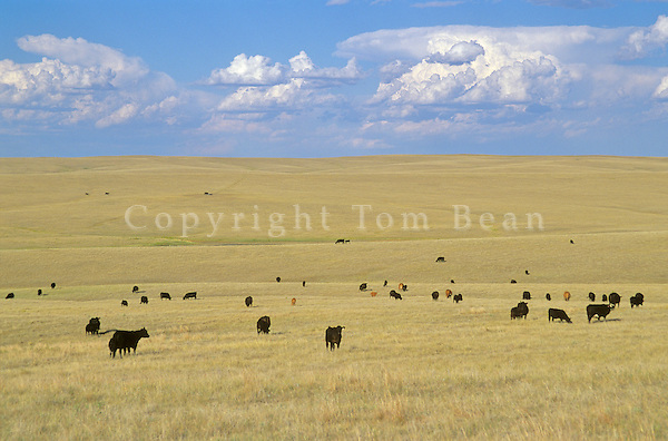 Cattle graze on Great Plains during August afternoon,  west of Hayes, South Dakota, AGPix_0521.