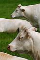 24/08/07 - SAINT JODARD - LOIRE - FRANCE - Elevage de bovins allaitants. Vache CHAROLAISE - Photo Jerome CHABANNE