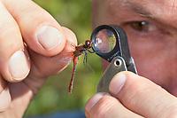 Libellen-Bestimmung, gefangene Libelle wird vorsichtig zwischen zwei Fingern gehalten und mit einer Lupe, Einschlaglupe untersucht, Entomologie, Biologie, Freilanduntersuchung, Zoologie, entomology, biology, zoology. Blutrote Heidelibelle, Männchen, Sympetrum sanguineum, ruddy sympetrum, Ruddy Darter, male, Sympétrum sanguin