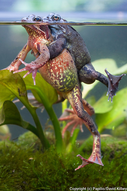 Common frog, Rana temporaria, Pair in amplexus or mating photographed underwater, Wiltshire, England, UK