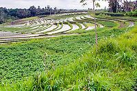 Bali, Tabanan, Kerambitan. Rice terraces in the Kerambitan area.