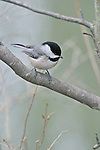 Carolina chickadee, Poecile carolinensis, On A Rainy Day