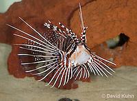 0130-1003  Antennata Lionfish (Broad-Banded Firefish, Spotfin Lionfish), Pterois antennata  © David Kuhn/Dwight Kuhn Photography