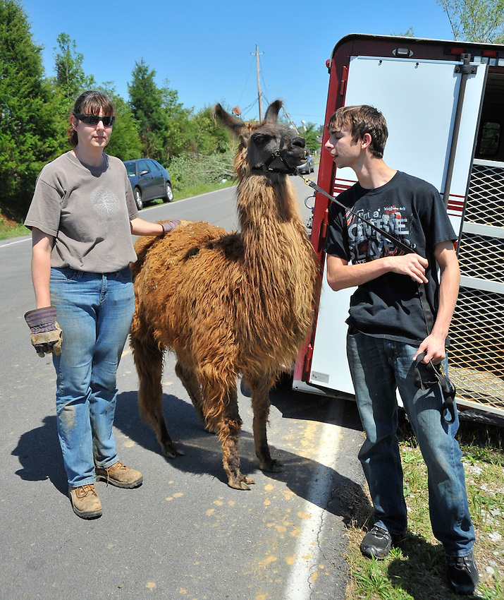 Lisa Duvernay helps Jake McKearin with Jamama Llama Farm in Toney load one of her two llamas into a trailer.  The llamas lived in the Yarbrough Rd. area which was hit by the tornado and the llama farm was going to take care of them. (The Huntsville TImes/Bob Gathany)
