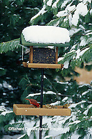 00585-02914 Northern Cardinal male & American Goldfinches on tray feeder in winter Marion Co.   IL