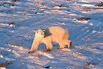 Photo: 20233..Canadas polar bear country around Churchill, Manitoba, at Gordon Point and nearby at Cape Churchill in Wapusk National Park on the south edge of Hudson Bay.  Photos of polar bears males, females, and cubs.  Fauna includes polar bears, arctic hares, and arctic foxes.  Landscapes of the tundra terrain and ice forming on Hudson Bay, plus sunrises and sunsets.  Polar bear viewing in Tundra Buggies while staying at the Tundra Buggy Lodge, operated by Frontiers North.  Photo copyright Lee Foster, 510-549-2202, lee@fostertravel.com, www.fostertravel.com.