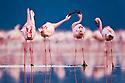 Lesser flamingos (Phoenicopterus minor) in Lake Nakuru, Lake Nakuru National Park, Kenya