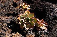 Stricklava und Dickblattgewächs, El Lajial bei Restinga, El Hierro, Kanarische Inseln, Spanien