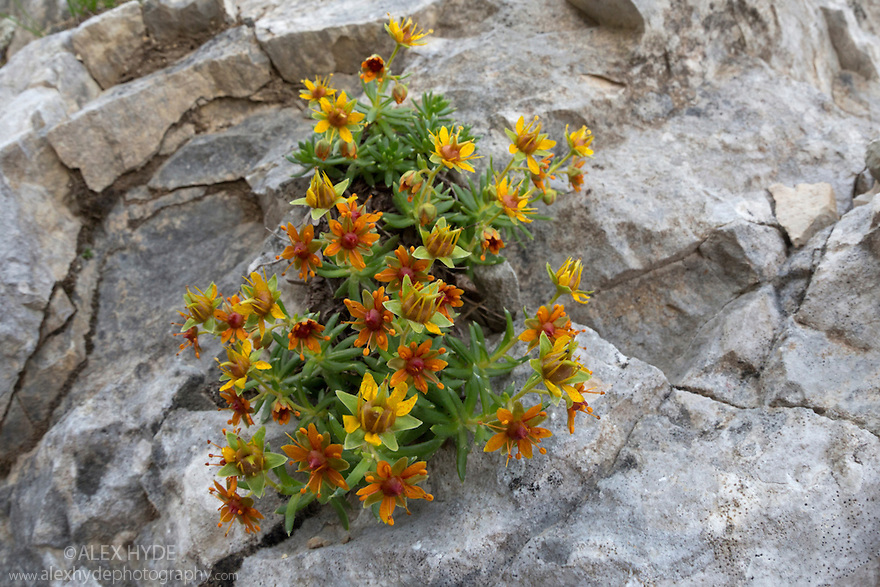 Yellow Mountain Saxifrage (Saxifraga aizoides) growing on limestone cliff. Triglav National Park, Julian Alps, 2000m, Slovenia. July.