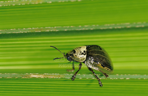 Tortoise Beetle, Coleoptera, adult on palm frond, The Inn at Chachalaca Bend, Cameron County, Rio Grande Valley, Texas, USA