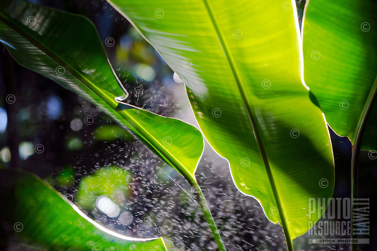 Backlit leaves and water spray at a botanical garden on the Big Island.