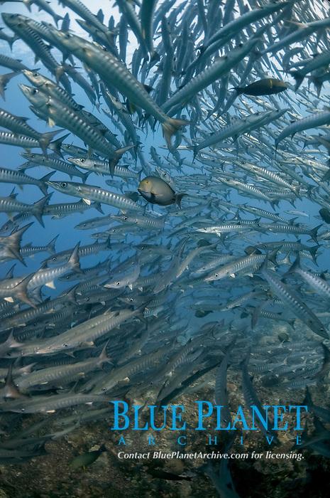 School of Blackfin Barracuda, Sphyraena qenie, Barracuda Point dive site, Sipadan island, Sabah, Malaysia, Celebes Sea