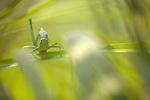 Camouflaged Katydid, Costa Rica