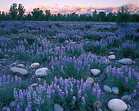 Sunrise light on a field of Silvery Lupines (Lupinus argenteus) below the Teton range; Grand Teton National Park, WY