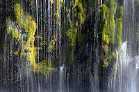 Water flows down green moss at Mossbrae Falls, along the Sacramento River, near Dunsmuir, Siskiyou County, California  .