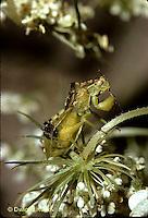 AM01-002b  Ambush Bug sitting on Queen Anne's lace - Phymata americana