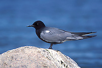 Black Tern - Chlidonias niger - Breeding adult