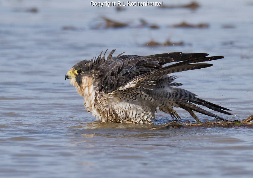 Adult peregrine falcon bathing in a flooded field.<br />