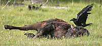 A raven attends to a bison carcass. The bison was believed to have been hit by a vehicle.