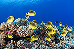 Apataki Atoll, Tuamotu Archipelago, French Polynesia; an aggregation of raccoon butterflyfish swimming over the coral reef