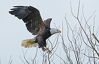 Adult Bald eagle flying in to land in the top of a barren tree.<br />
