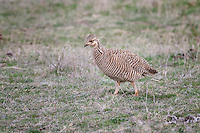 Lesser Prairie Chicken, female,  Canadian, Texas