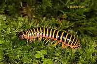 1Y15-500z  Millipede, Apheloria virginiensis corrugata,  SW Virginia