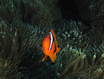 Du Li Jiao (Independence Reef), Green Island -- Tomato Anemonefish, Amphiprion frenatus, in a bulbous sea anemone.<br /> <br /> Anemonefishes, aka clownfishes, have developed the ability to live among the stinging tentacles of large sea anemones. About a third of the anemonefishes inhabit a specific host anemone.<br /> <br /> Anemonefishes live in small social with a single large dominant female, a smaller sexually active male, and from 2-4 even smaller males and juveniles. With the loss of the female, the largest male will change sex and become the harem's new matriarch.