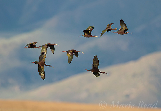 White-faced Ibis (Plegadis chihi) flock in flight, snow-covered mountains in background, Bear River Migratory Bird Refuge, Utah, USA