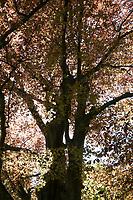 Blutbuche, Purpurbuche, Blut-Buche, Purpur-Puche, Fagus sylvatica f. purpurea, Fagus sylvatica f. atro-punicea, Rot-Buche, Rotbuche, Buche, copper beech, Common Beech, Europaen Beech, Fayard, Hêtre commun