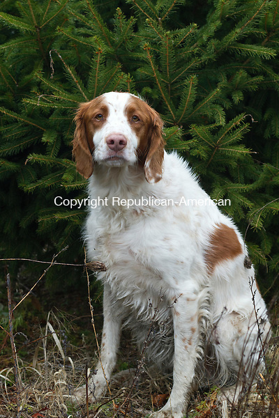 MIDDLEBURY, CT, 01 December, 2015 - 12015LW01 - Toby the dog hangs out at Busy Acres Tree farm in Middlebury Tuesday.<br /> Laraine Weschler Republican-American