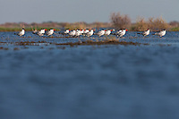 Caspian terns in the shallow waters of Lake Xau