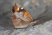 Zürgelbaumfalter, Zürgelbaum-Schnauzenfalter, Libythea celtis, European Beak, Nettle-tree Butterfly, Nettle tree butterfly