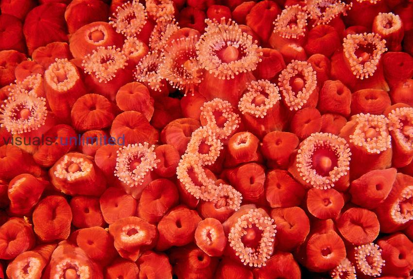 Strawberry Sea Anemones (Corynactis californica), Phylum Cnidaria, Class Anthozoa, California, USA