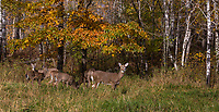 White-tailed deer looking up from feeding in a northern Wisconsin field.