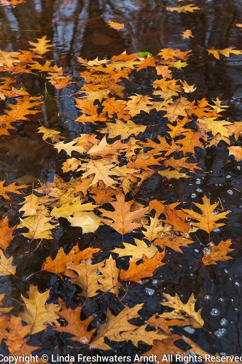 Red oak leaves floating in a wilderness lake in northern Wisconsin.
